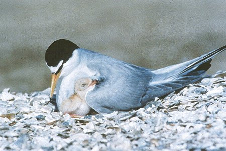 california least tern mother baby chick nest Walking with endangered species: California Least Tern