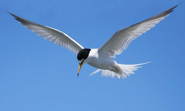 Walking with endangered species: California Least Tern