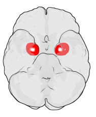 Amygdala medial temporal lobe left right brain human emotion Amys Amygdala: the emotional brain that controls fight or flight