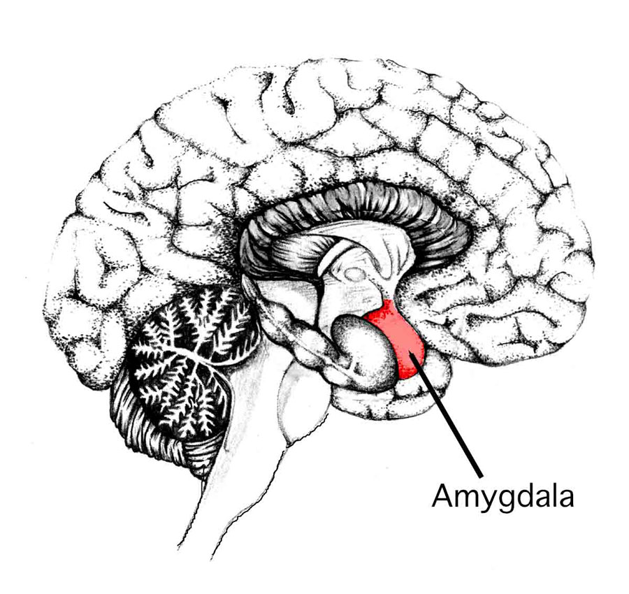 amygdala medial temporal lobe neurons brain human1 Amys Amygdala: the emotional brain that controls fight or flight