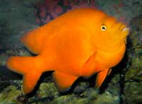 California State Fish on Garibaldi     The California State Marine Fish And May Live As Long As