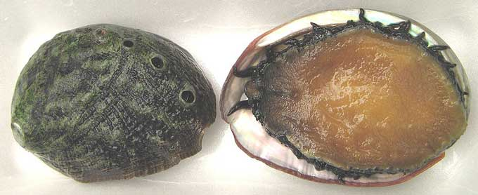 White abalone top bottom shell dorsal ventral Haliotis sorenseni White abalone going extinct under current program