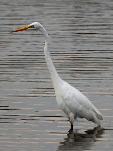 Great Egret Ardea alba in the Anacostia River near Bladensburg Waterfront Park in Prince Georges County MD 225x300 Great Egret (Ardea alba) in the Anacostia River, near Bladensburg Waterfront Park, in Prince Georges County, MD