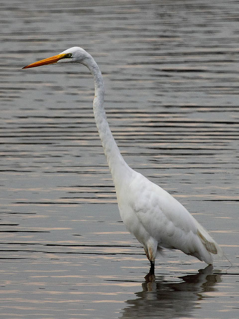 Great Egret Ardea alba in the Anacostia River near Bladensburg Waterfront Park in Prince Georges County MD National Geographic: thousands fish (and eat) from the extremely toxic Anacostia River