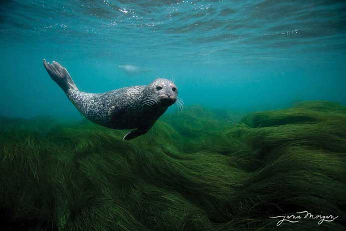 childrens pool seals underwater park jana morgan seaweed grass Beautiful underwater photography of seals in La Jolla Childrens Pool   save the seals!