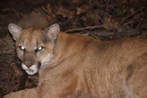mountain lion griffith park los angeles captured tagged photo 300x199 mountain lion griffith park los angeles captured tagged photo