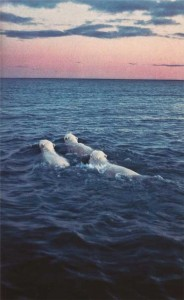 three polar bears swimming in water at sunset ocean blue pink no ice 184x300 three polar bears swimming in water at sunset ocean blue pink no ice