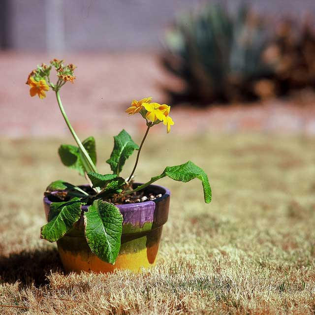 drought dry grass potted plant withering yellow flowers Are you aware much of the U.S. is in a devastating drought?